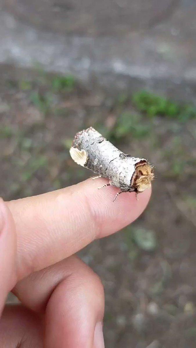 蛾の擬態がもはや枝にしか見えなくて判別できないレベル!