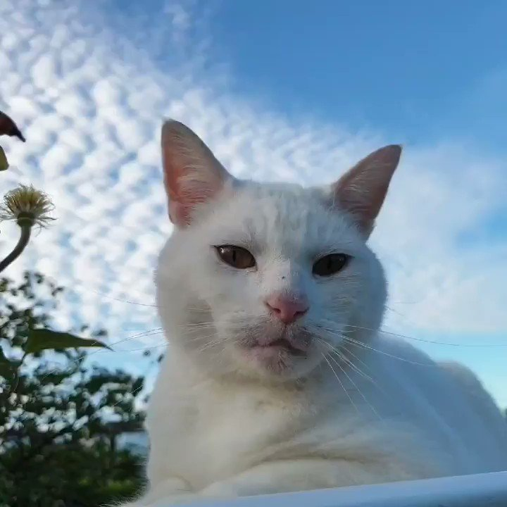 Image for the Tweet beginning: Where's that seagull? #CatsOfTwitter #WhiteCat #CatLovers