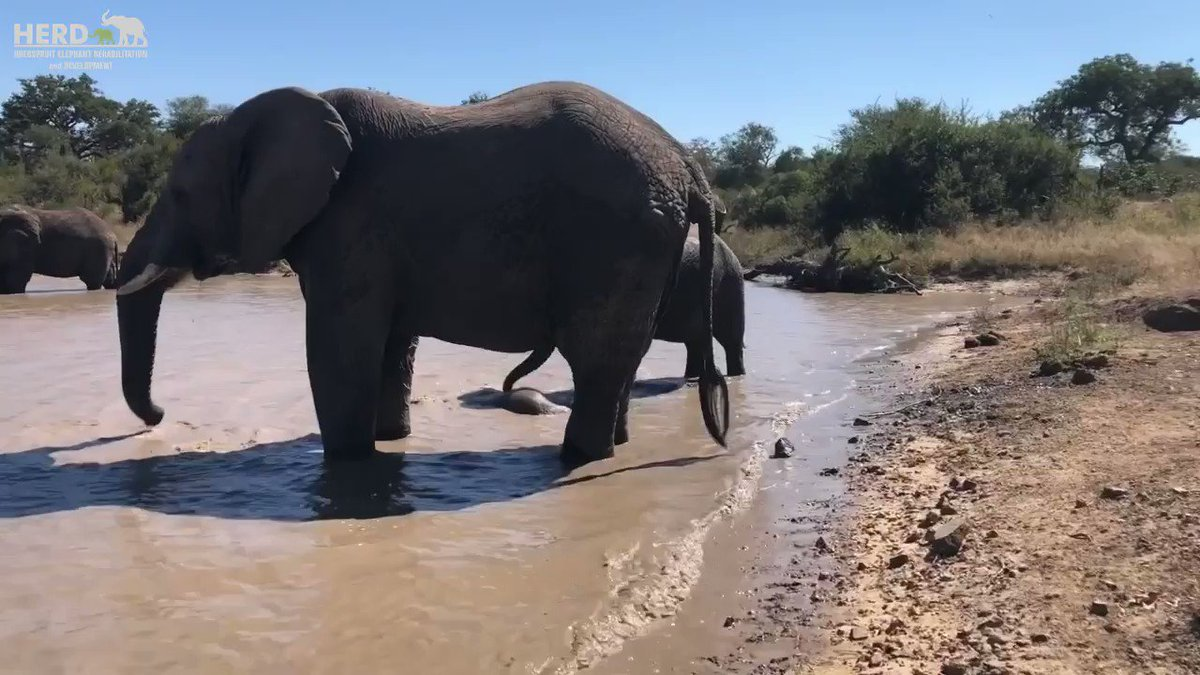 Can you spot little pink baby elephant Khanyisa swimming with her herd? 🐘💦 FULL VIDEO: https://t.co/0DwSy7OiFA 💓 https://t.co/bPyr77U5QD