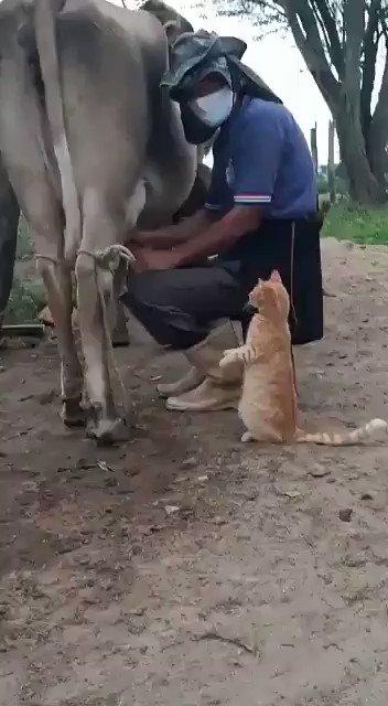OMG બિલાડી કહે છે.. #ViralVideo #Cow #animal  @Viral_GIFs#animal #ViralVideos #fun #funniesttweets #blueTick https://t.co/vAkQPK1SJk