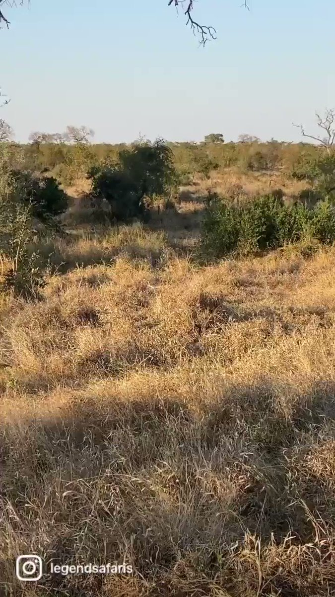 Djuma Day 4-morning safari highlights  Most of this morning's safari was spent with a male leopard (Quarantine male) moving about before setting his sights on a herd of impalas  https://t.co/OXFK1gbN6l  #djuma #sabisands #safari #wildearth #legendsafaris  @mykat_mia  @RoyAllenFSW https://t.co/KqYI4p1ddy