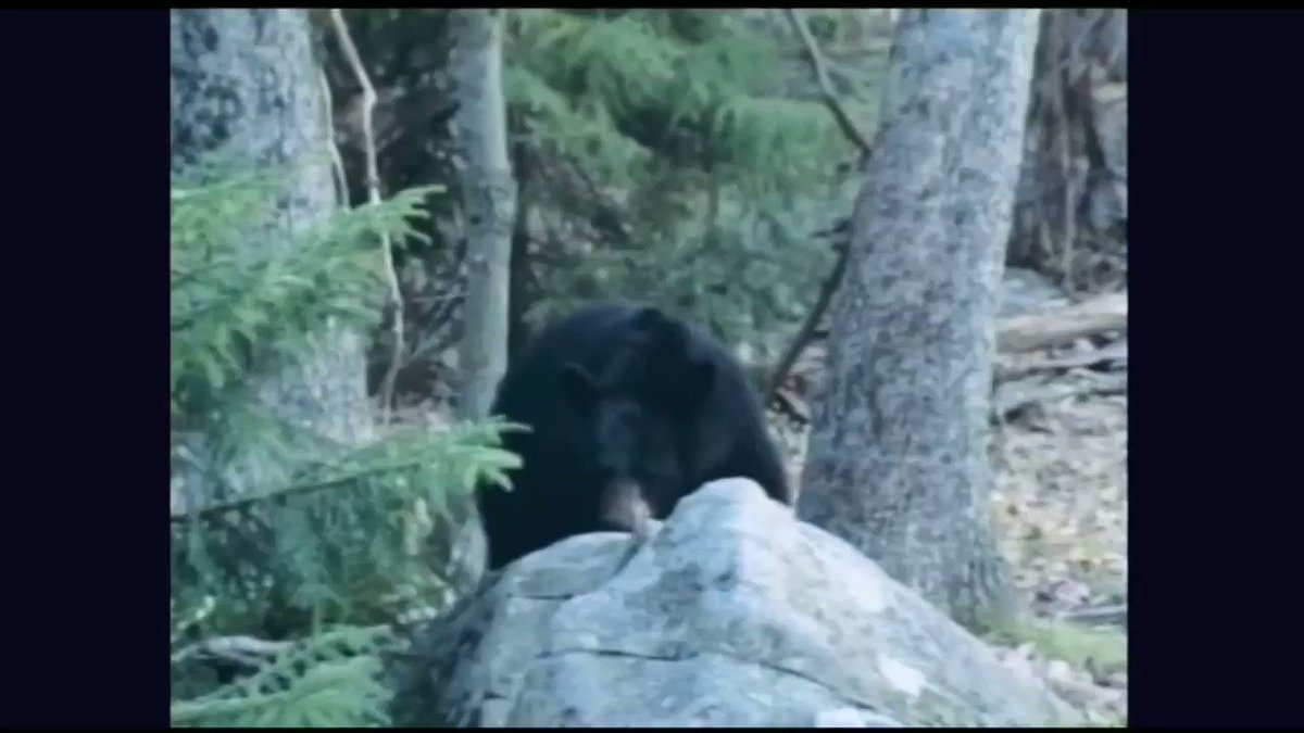 Can you out climb a black bear??   #bear #BearTipOfTheDay #hunting #fishing #wildlife https://t.co/GQhwomKgrw