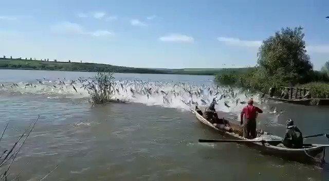 La Ribazón en el Río Orinoco ha venido a bendecir a los amazonenses después de tres años sin este fenómeno que atrae gran cantidad de peces a la costa.  Son los regalos de la naturaleza que son amenazados por el Arco Minero. https://t.co/FSa3cX1vZK