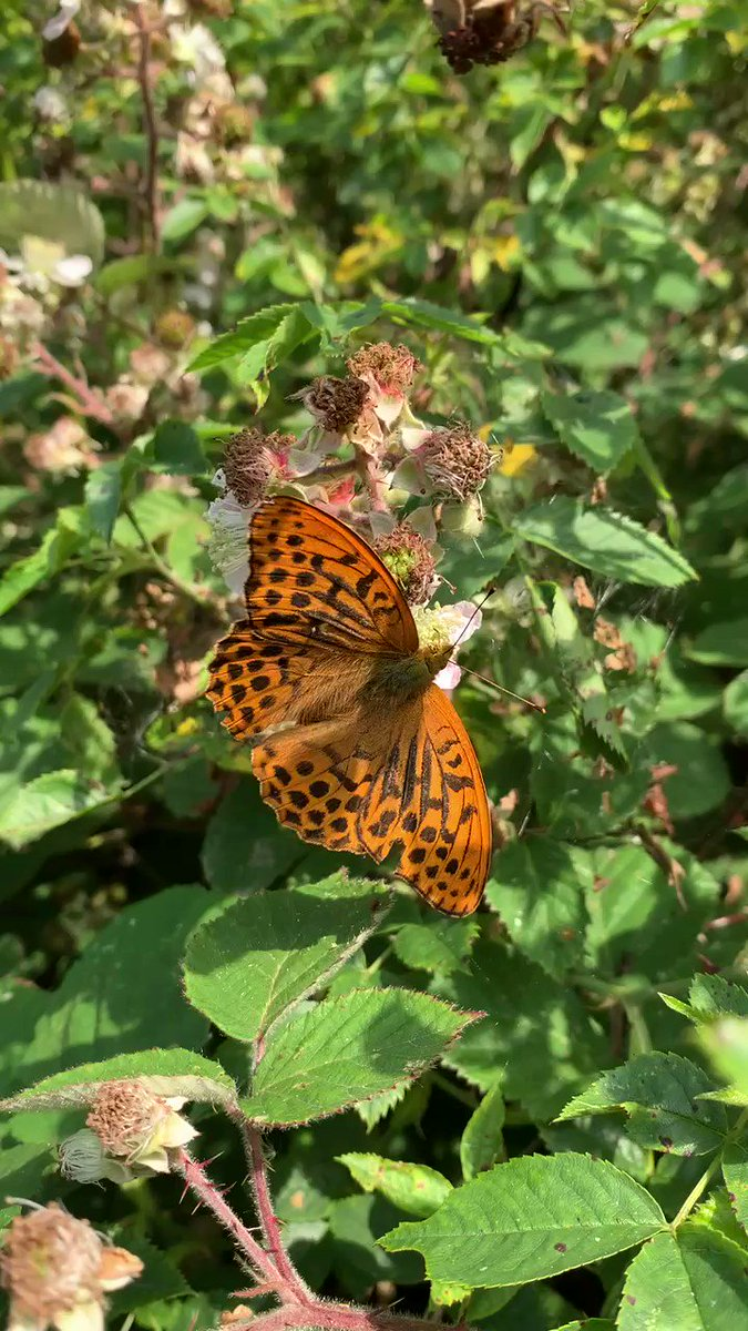 Image for the Tweet beginning: #BeautifulButterfly Alert!! Silver-washed fritillary feeding