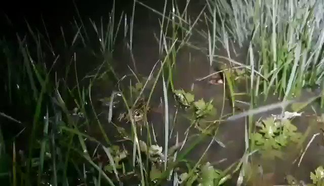 We need your help! With all this water around the Wimmera,  frogs are going crazy! We were able to capture one on film but we're not 100% certain what it is: 🐸 Spotted Marsh/Grass Frog 🐸 Mallee Spadefoot Toad/Painted Frog or Common Spadefoot/Painted Burrowing Frog