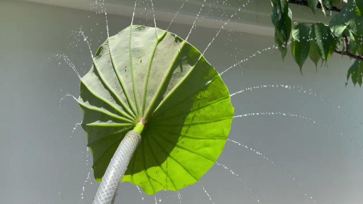 散水ノズルが壊れたので?蓮の葉で代用した結果!
