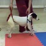 リハビリの大切さが良くわかる!歩行が困難だった犬が歩けるまでに・・・。