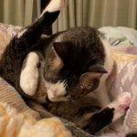 謎の儀式…!トイレ後に走ってきて飼い主の目の前で股間を嗅ぎ「クサッ」と言う顔をするネコ!