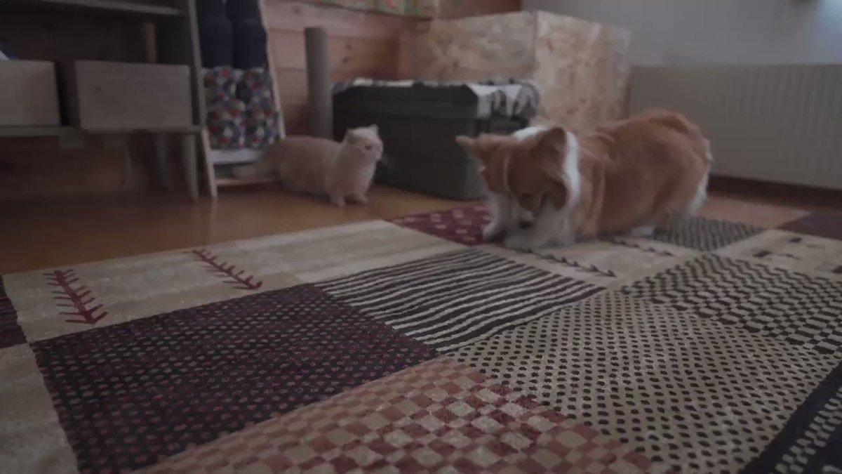 カーペットを守ろうとするネコ
