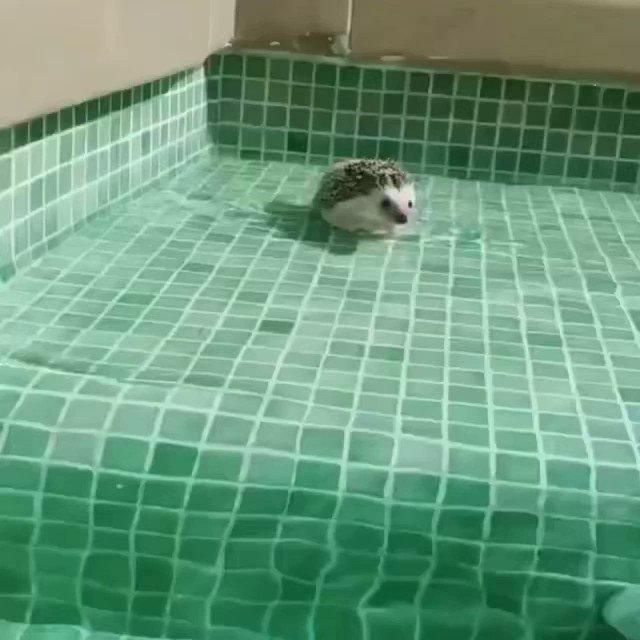 実は泳ぎが得意なハリネズミ