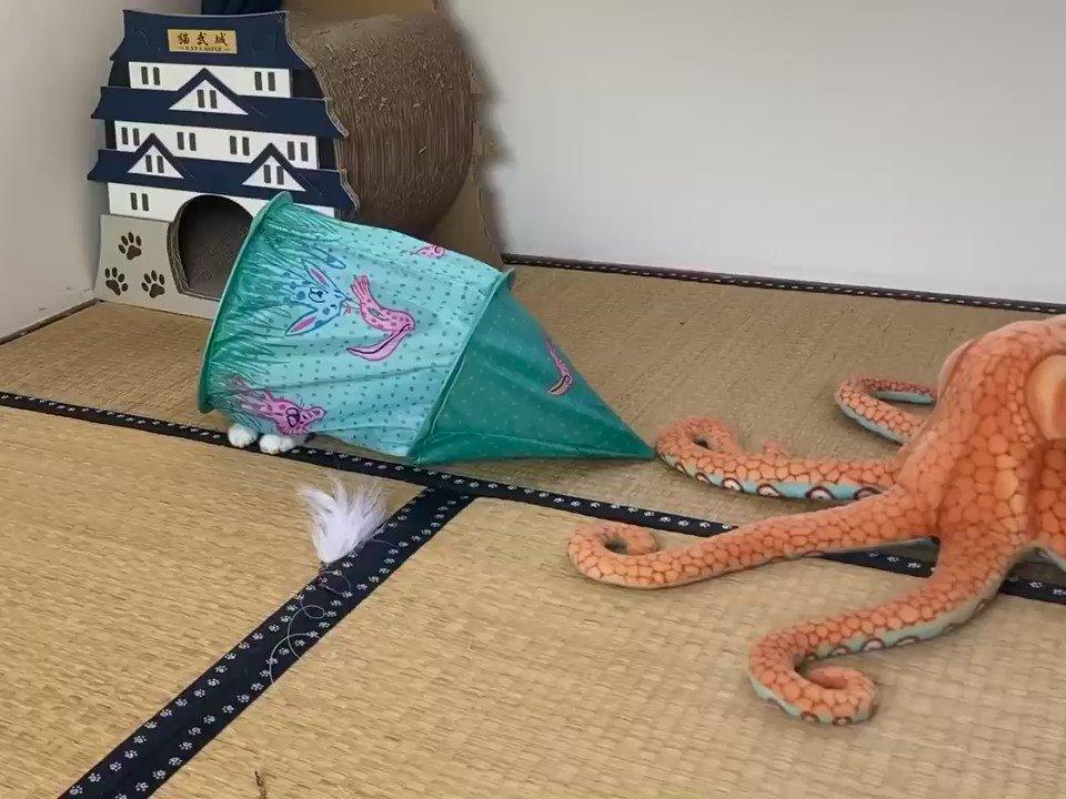 テントを被ったまま猫じゃらしを探すという遊びに付き合わされてる #熱海MuddyCat #熱海 #BAR #猫