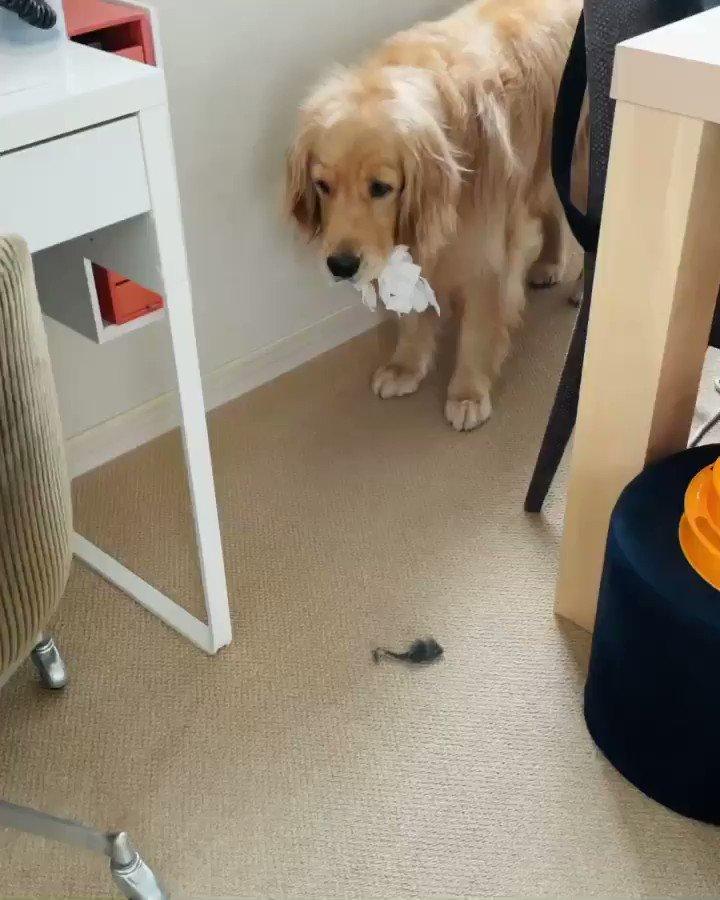 罪を被る犬。  ※ウメが引っ張り出して散らかしたティッシュをコメが回収してウロウロしています。