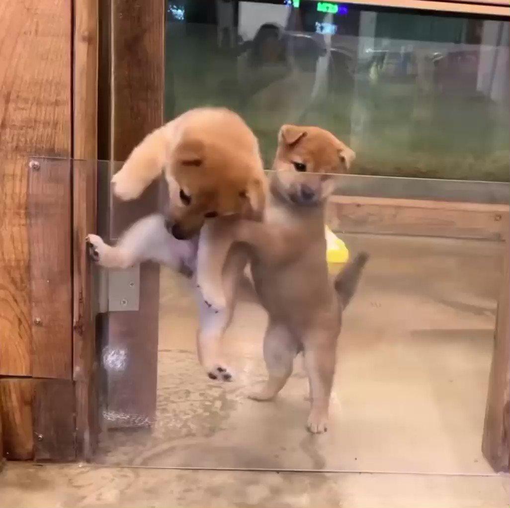 脱走を試みる子犬と協力する子犬