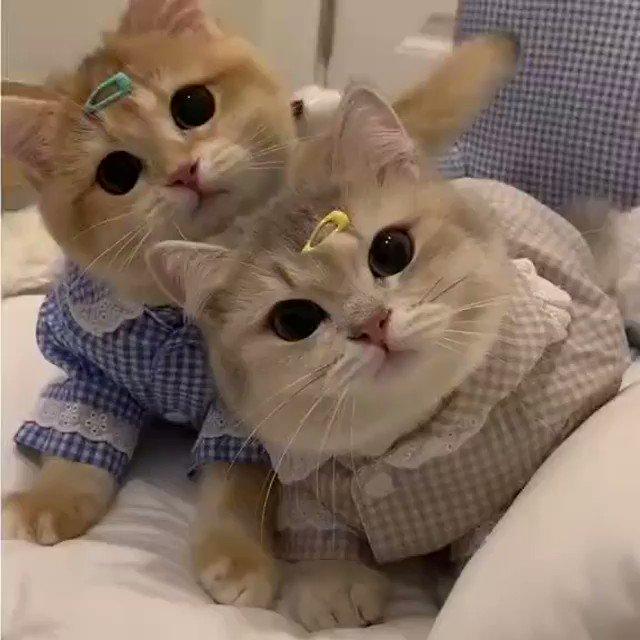 ヘアピンがお似合いすぎる猫さん
