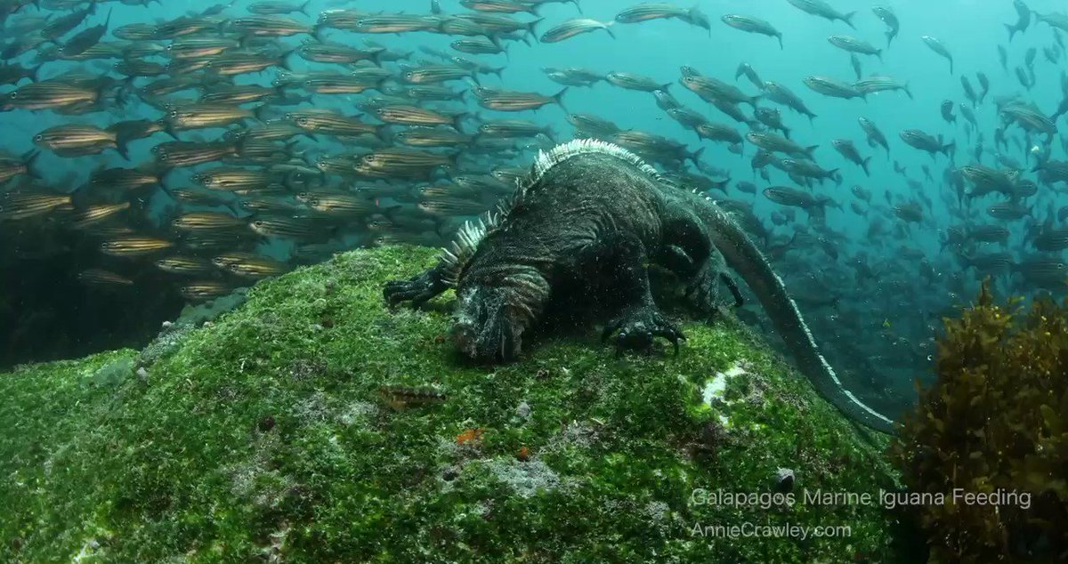 Here's a 30 sec break for your day. Just a sneak peek into life as a marine iguana. My favorite endemic species in the Galápagos Islands are these Godzilla looking creatures…who else thinks they are the BEST! #wildlife #Galapagos #diving https://t.co/iFnMamJQdo
