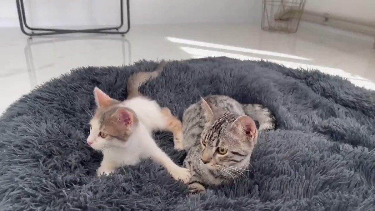 そこはあかーん!2匹の子猫にベッドを取られたゴールデンレトリバーのひかえめな自己主張がかわよ   スペインの家庭で暮らすゴールデンと子ネコ。自分のベッドを優しく取り戻そうと奮闘するゴールデン健気。とても優しい性格なのが伝わってくる。