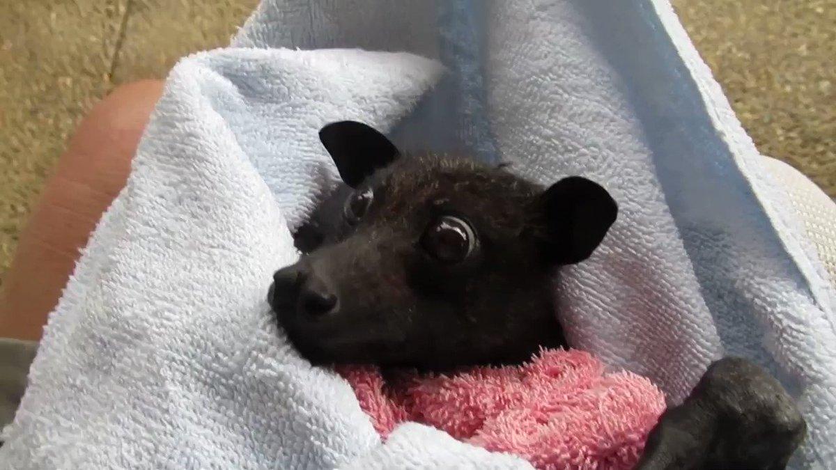 保護されたオオコウモリがバナナを食べる動画、なんだかクセになる。  フル動画はこちら→