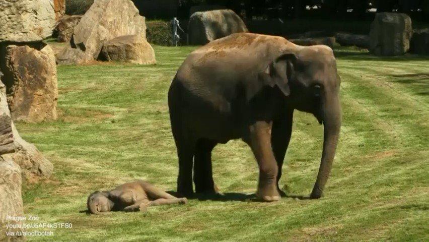爆睡してまったく起きないゾウの赤ちゃんを起こすために飼育員を呼ぶゾウのお母さん