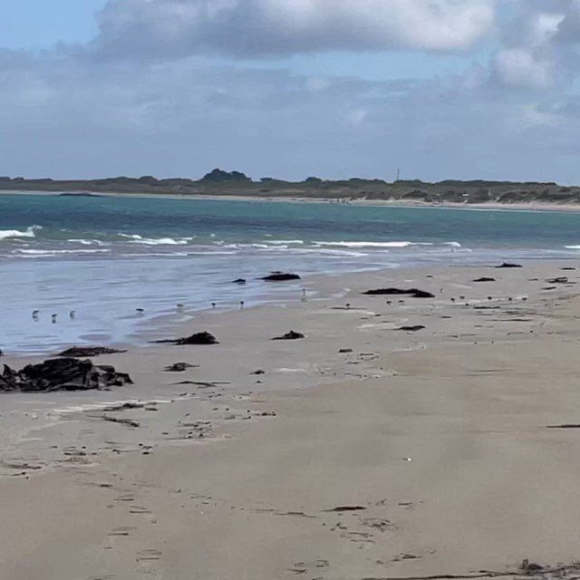 And wouldn't you know it, as soon as we stopped the live stream from this morning's Shorebird stroll a flock of red capped plovers appeared! You can watch the video of this morning's walk on the beach (which didn't have this wind noise!) here: https://t.co/Taa6bL36ye