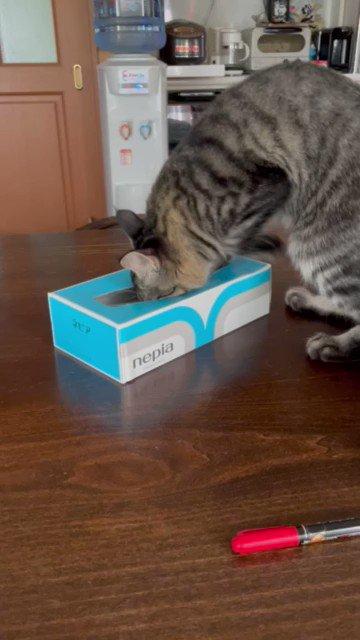 #猫 箱ティッシュで遊ばないでよ😭
