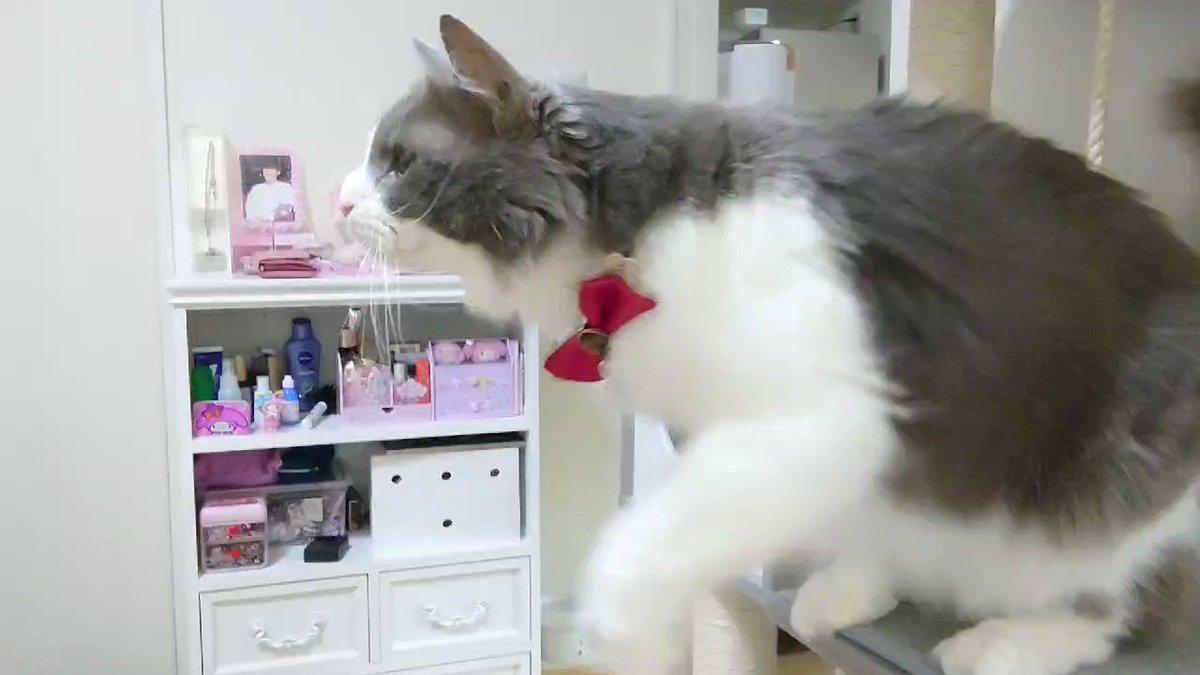 飼い主のパンが欲しくてサイレンみたいな鳴き声出す猫。 手頑張ってチョイチョイしてる…… #猫