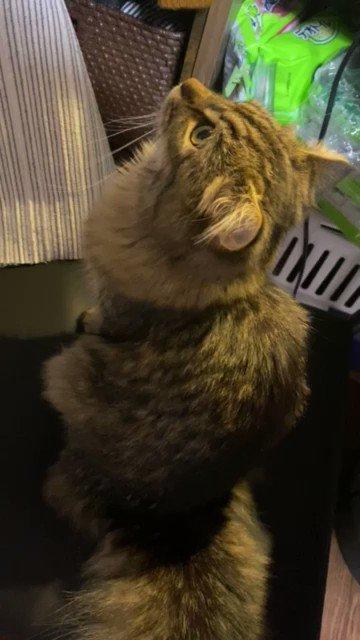 うちの猫鳴き声が完全にピャー