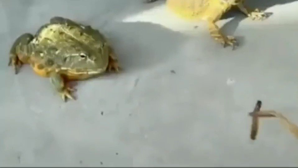 舌が短いだけに餌を横取りされるカエル、悲しく見つめる顔が!