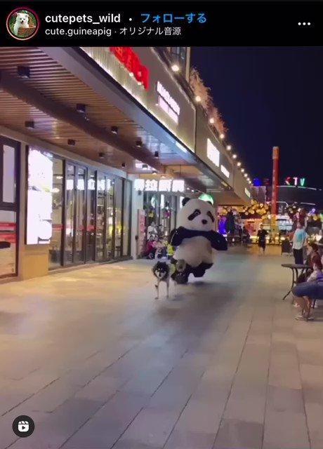 これは良すぎる!パンダが犬に引っ張られて走っている動画w
