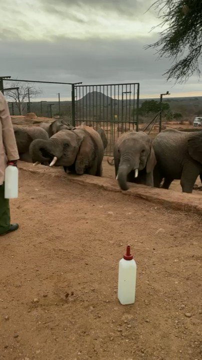Lots of hungry mouths to feed down at the Ithumba milk bar. Some of these orphans are being weaned so instead of a milk bottle, they get a water bottle! #BehindTheScenes