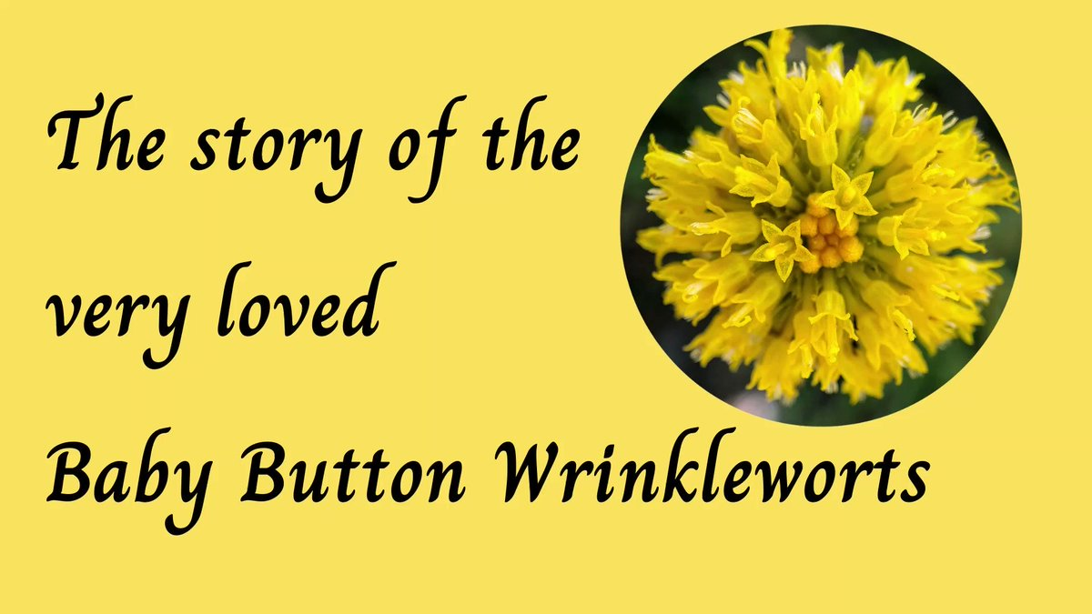 We have a Friday fairytale playing over on our Facebook page ... it includes flowers, farmers and a lot of plant love.  https://t.co/Taa6bKLvGG @AusLandcare @envirogov @DELWP_Vic #CMAsGetItDone #button #wrinklewort #coolplant #daisy #grasslands #workingtogether