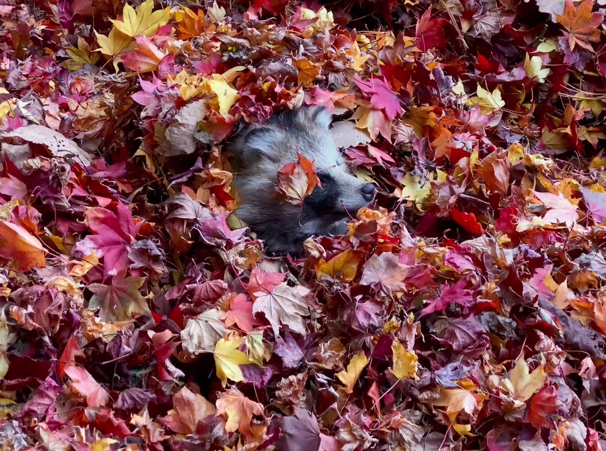 秋に埋もれ🍁#エゾタヌキ           #raccoondog#今日のたぬき       #モユクカムイ#埋もれたぬき🍁
