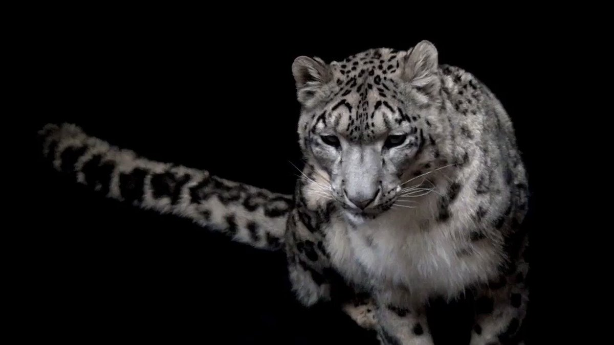 Snow leopards call the mountains of central Asia home. With thick hair, insulated paws, and a long tail that aids in balance and acts as a blanket against frigid temperatures, this cat is well suited for life in the snowy mountains where it acts as a top predator.