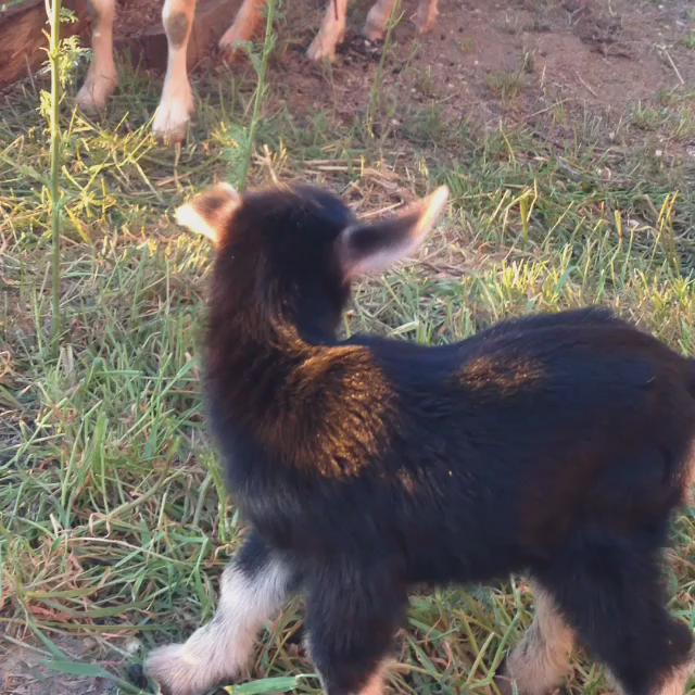 Baby goats. Now back to #amwriting. http://t.co/0Wc1afu8Pa