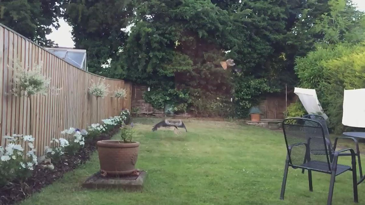 @BBCSpringwatch feeding time in my garden for the red kites.