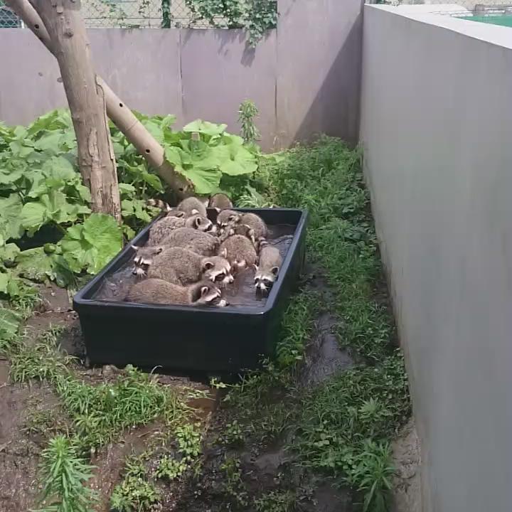 いも洗い状態 #かみね動物園 #アライグマ pic.twitter.com/UwH0IeRi21