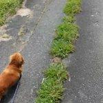 散歩中に飼い主が倒れた結果?我関せず!