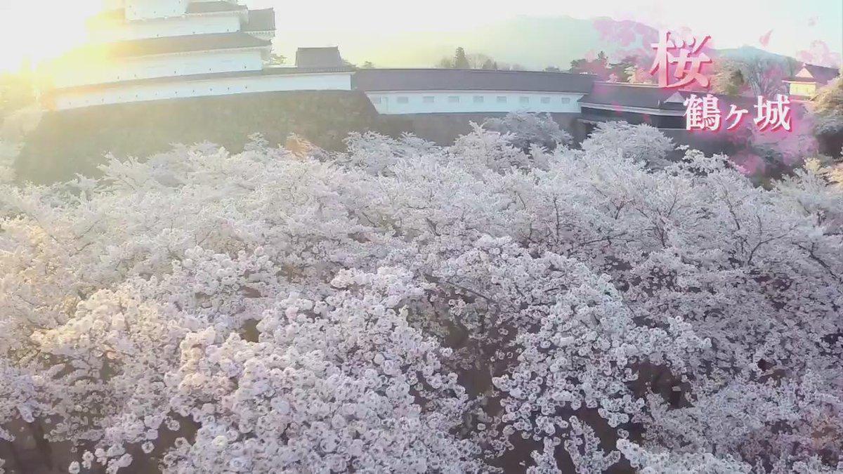 約1000本の咲き誇る桜に彩られる鶴ヶ城を空から撮影しました。 動画を気に入っていただけましたら、ぜひ会津若松市公式twitterの「フォロー」をお願いします! http://t.co/aLY3XhA8Rt http://t.co/copcDP4stk