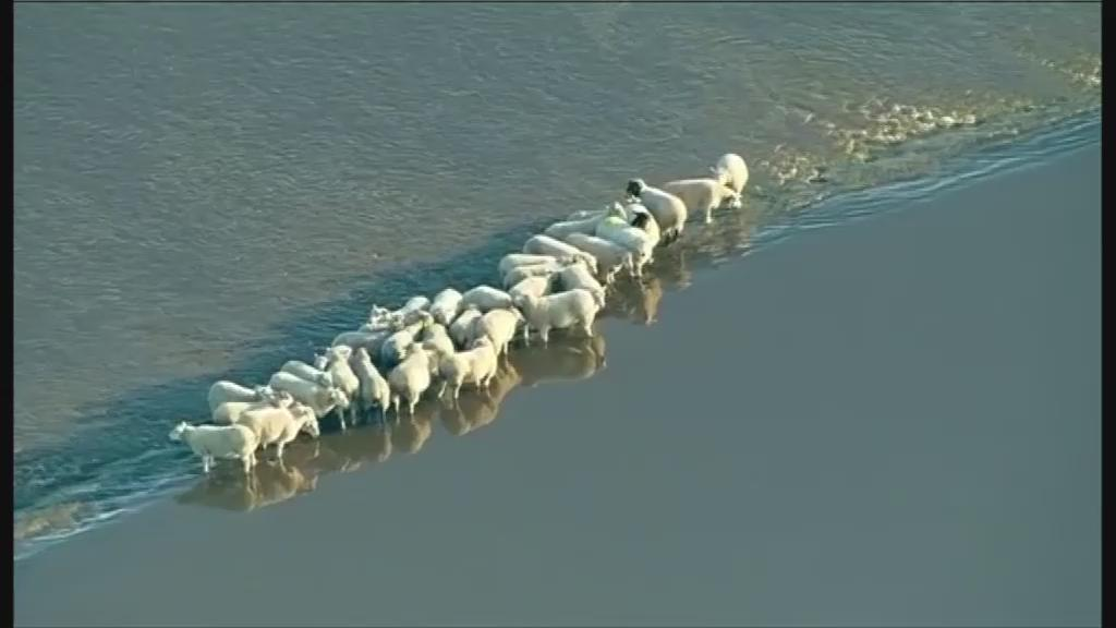 Sheep stranded on a ridge as the flooded River Wharfe flows around them near Cawood. https://t.co/mvDvjC0loZ