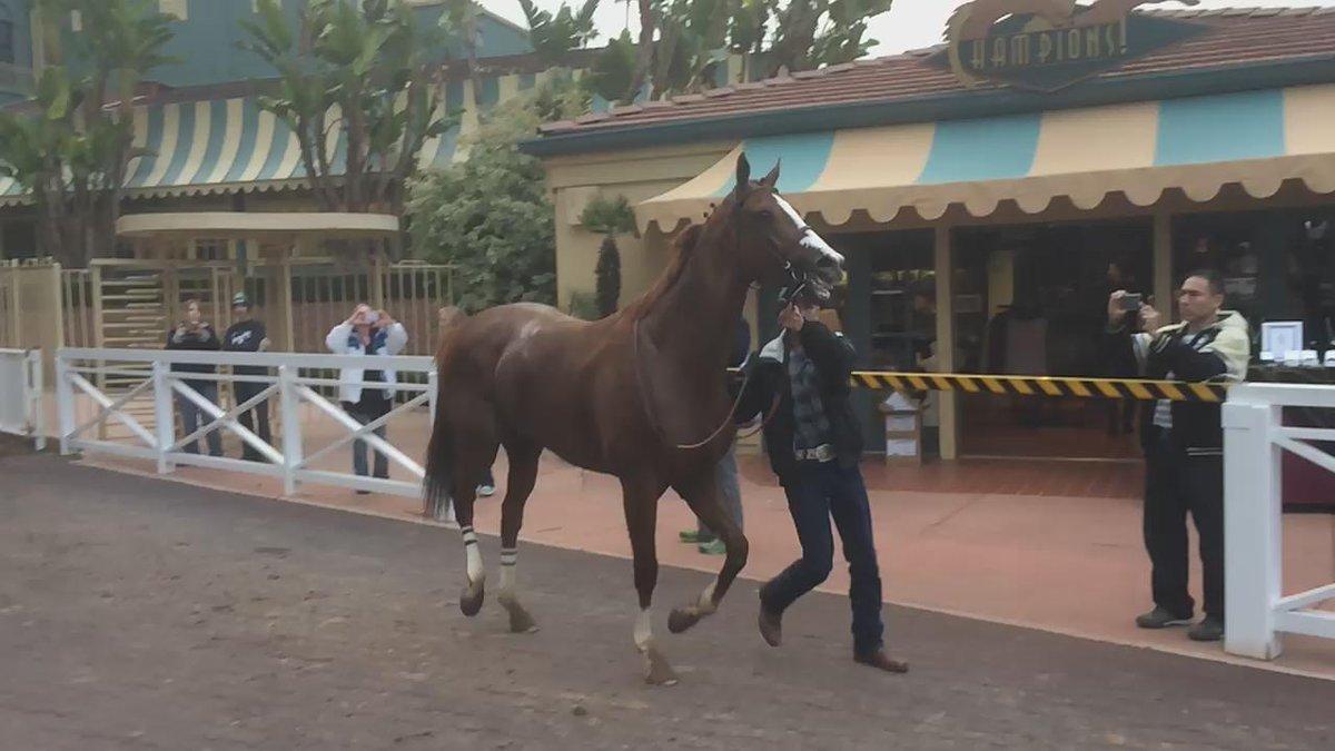 California Chrome heading home a happy horse yesterday #CaliforniaChrome #SantaAnitaPark @santaanitapark https://t.co/GzWoL19rU0