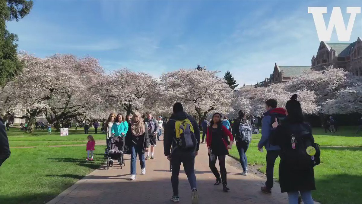 Take a virtual stroll through the sunny Quad & check out the @uwcherryblossom in full bloom! https://t.co/drJjRvM4BP https://t.co/ql4OknlieG