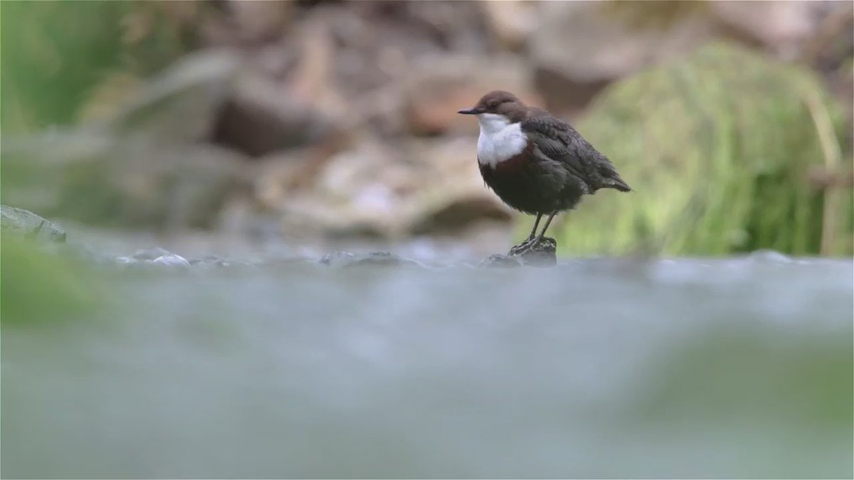 This is wonderful! RT @Marshmail: I was back on the river this morning. An amazing display by the dippers. https://t.co/b9id3gW5MI