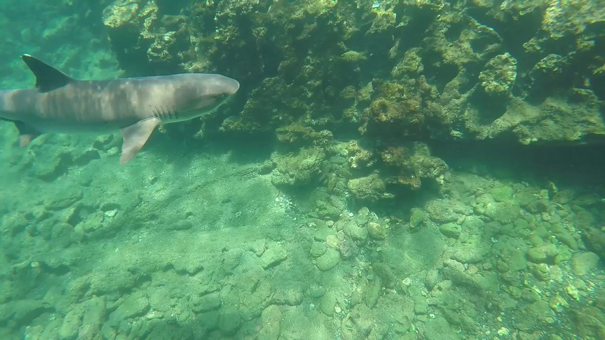 @MaryLeeShark @finley_shark I found one of your cousins in the Galápagos #whitetipshark #Sharks #GoPro #hero4silverpic.twitter.com/9OJHVnC2d3
