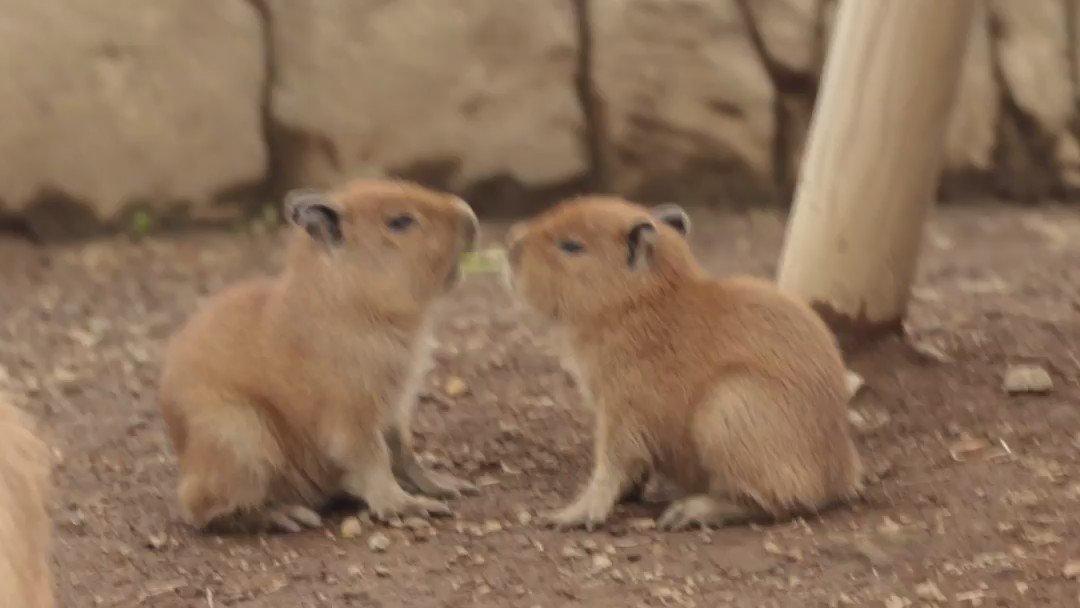 最初から見ないと、何してるの?この二頭は!という・・・仔カピバラ達。 pic.twitter.com/ULhwK47uAN