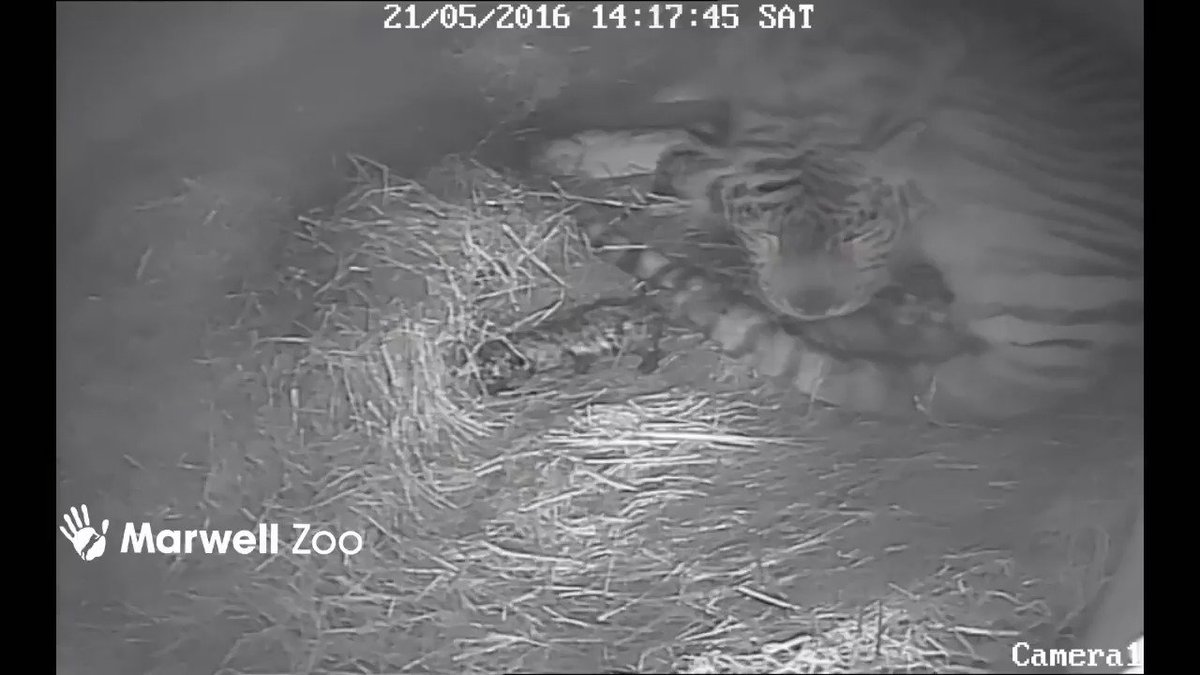 ***TIGER CUBS ALERT*** Milla is a mum to triplets! All doing really well and will stay behind the scenes till summer https://t.co/iOPWvXohhO