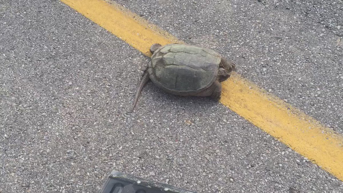 I saved a life in #GreeneCounty . He was not appreciative. #GrumpyTurtle @whiotv https://t.co/wXH0ye0k3V
