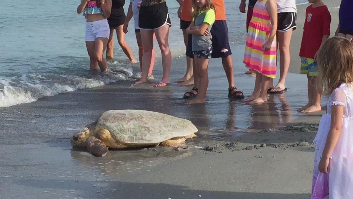 . @MoteMarineLab Well done. Loggerhead turtle returned to Gulf post stranding. #TurtleBeach #siestakey
