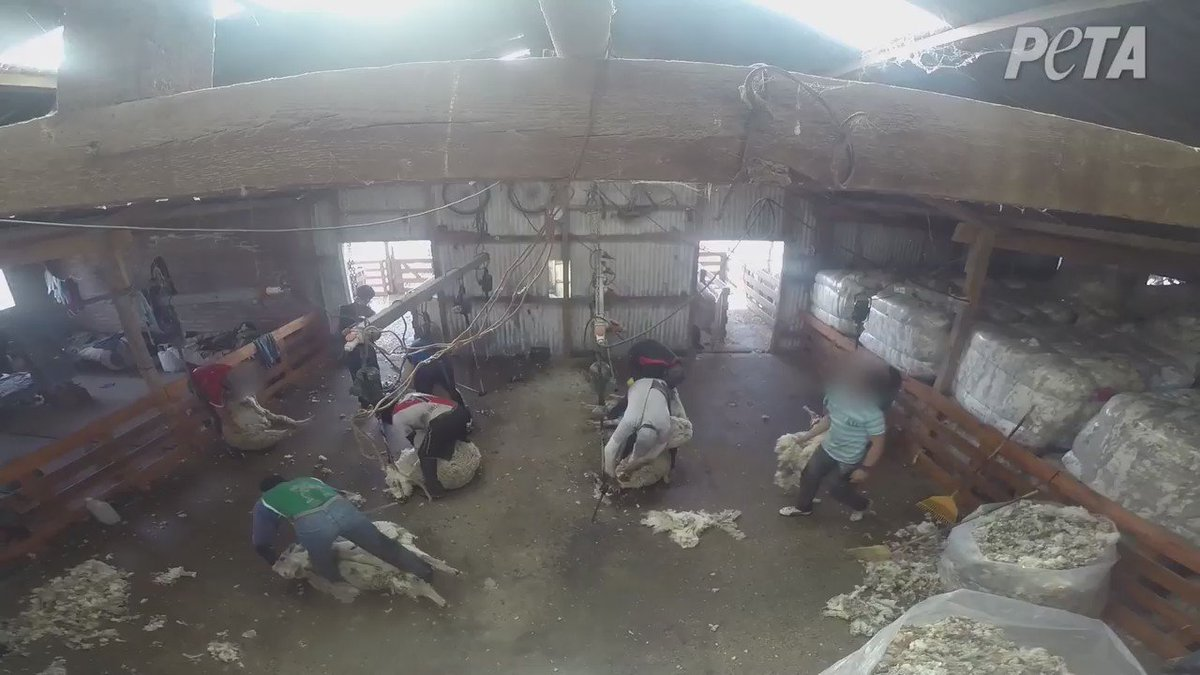 Ayudemos x favor!!!RT @PETA_Latino: @DavidChocarro Ovejas torturadas en Santa Cruz. Esto no está bien en Argentina. https://t.co/xUuipDBB3r