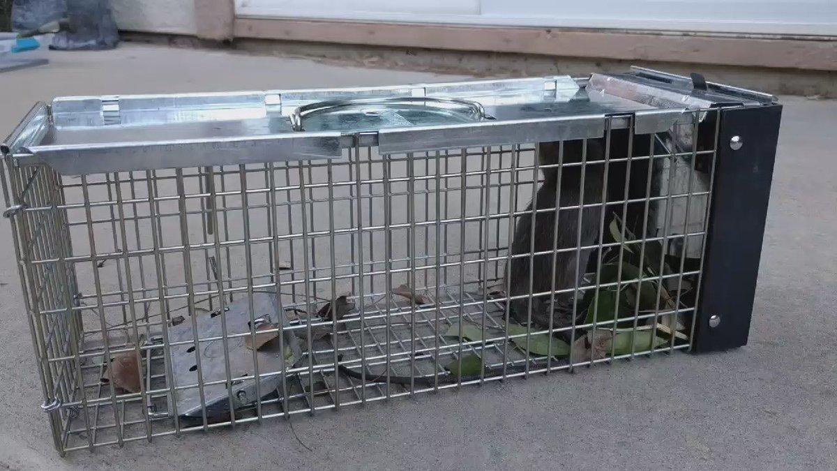 庭にネズミが出るので、朝仕掛けを仕込んだら、帰宅時にもうネズミ捕まっててワロタ。 https://t.co/4JhhmAVUv3