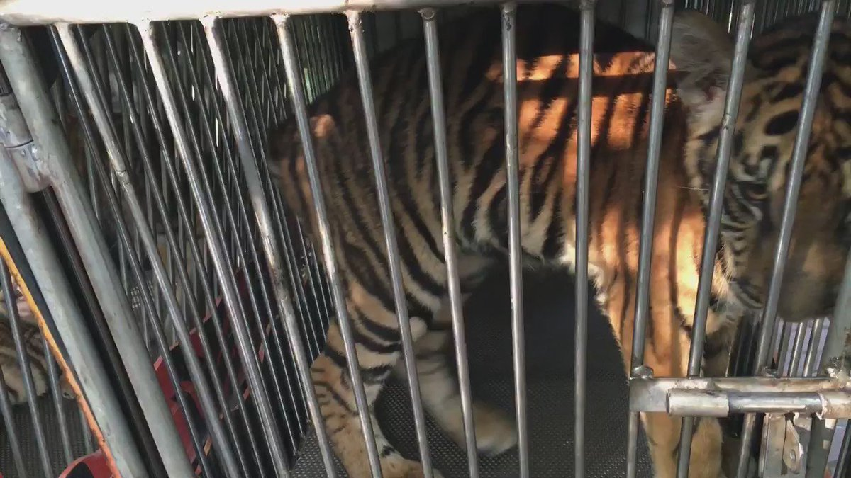 .@TripAdvisor must stop profiting from this tiger cub's suffering. Sign petition: https://t.co/JALrULZzZy https://t.co/TUhuMRWPqe