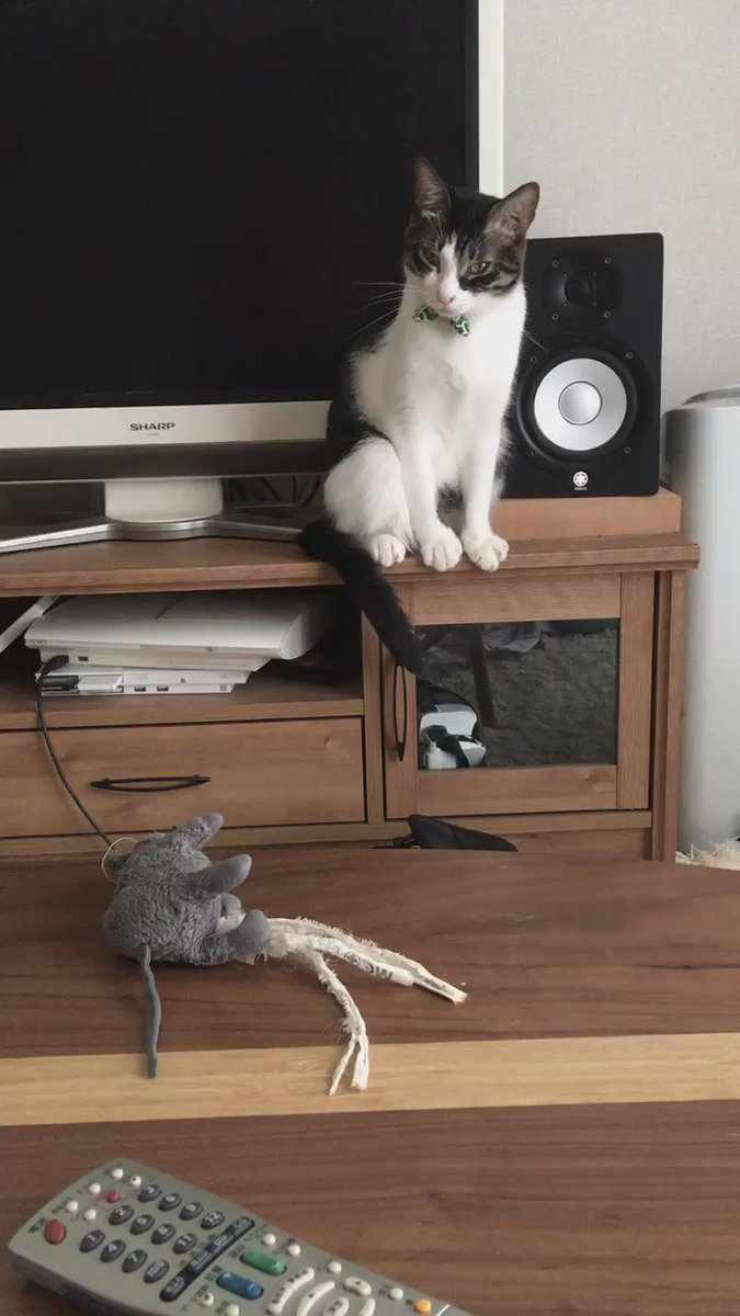 うちの猫が以前から大好きなネズミを綺麗に洗濯して机に置いておいたら、匂いが消えたからなのか何なのか、絵に描いたよにわかりやすく困惑している。rikkusora.com/rikku/nezupopo pic.twitter.com/RuKBQH7Ok8